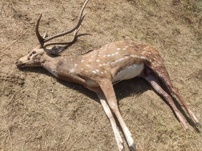 Spotted deer found dead on University of Hyderabad campus