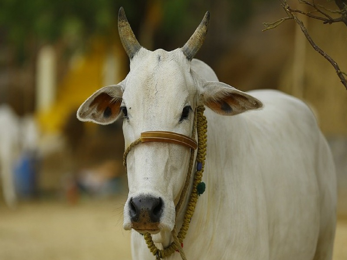 Hyderabad: One killed, four injured after cow creates havoc