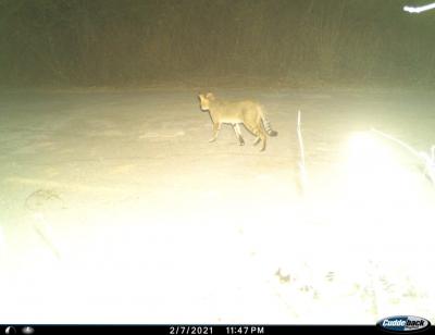 Jungle cat, not leopard near Hyderabad Airport: Forest officials