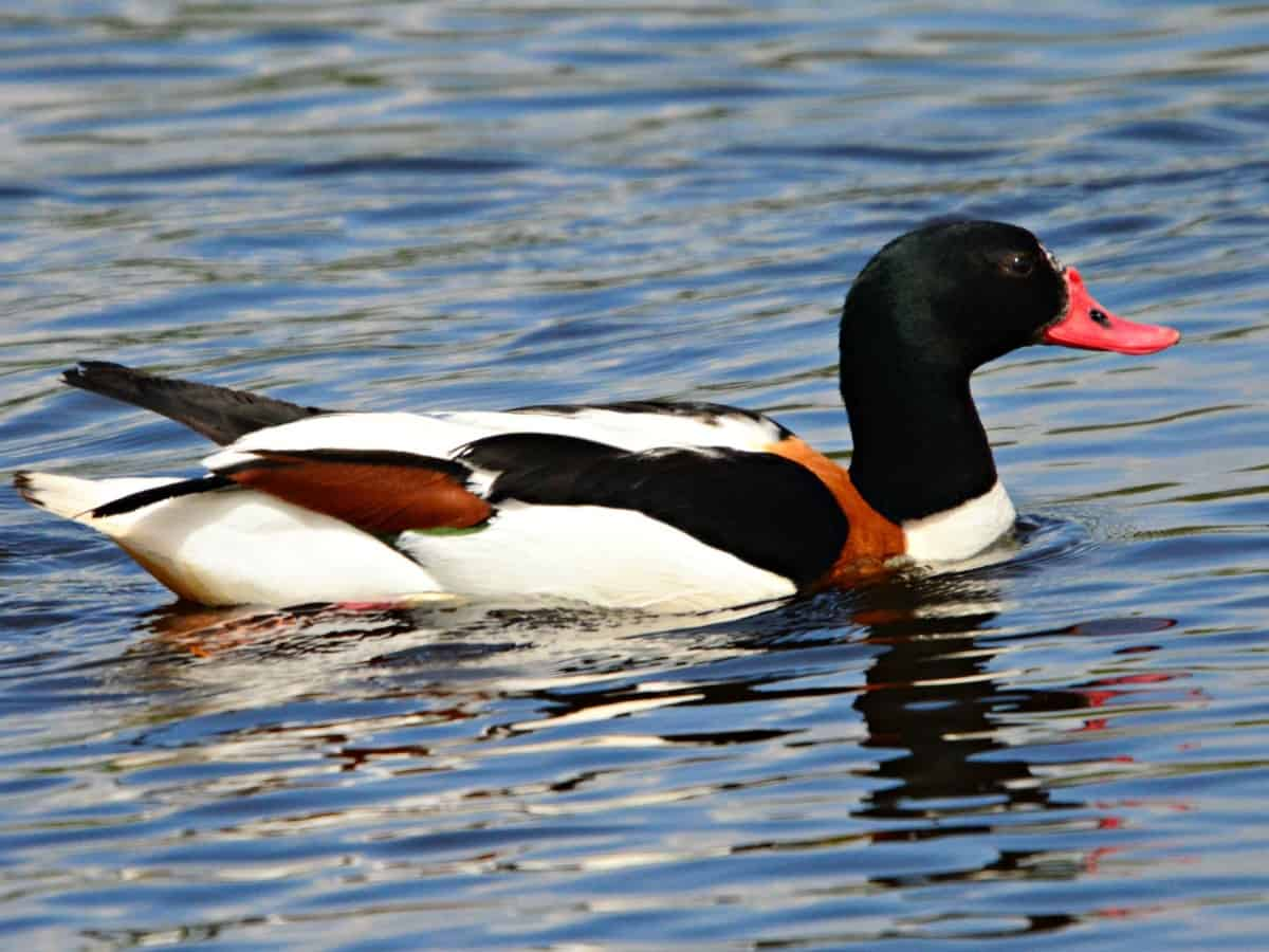 Migratory 'Shelduck' seen for the first time in Hussainsagar