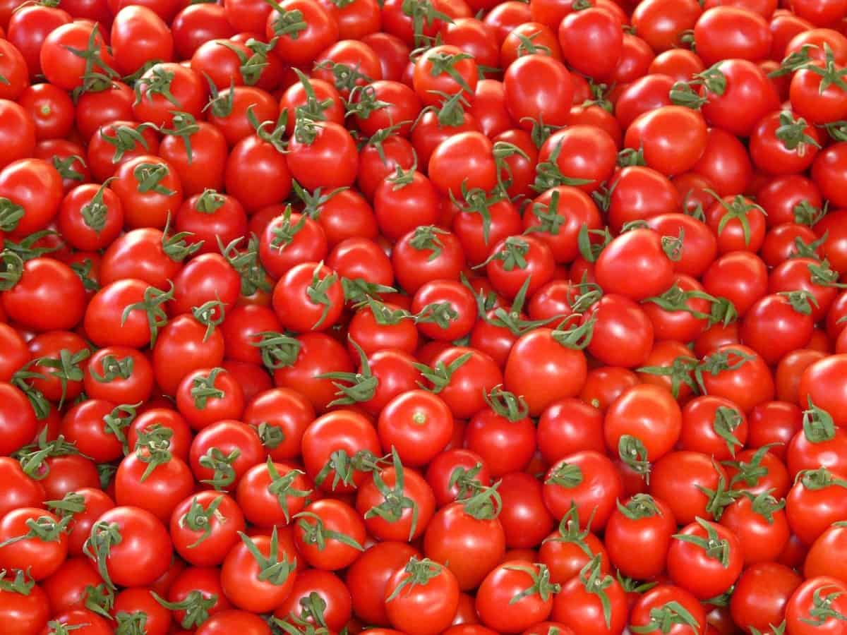 Hyderabad: Tomato prices fall heavily, farmers facing huge loss