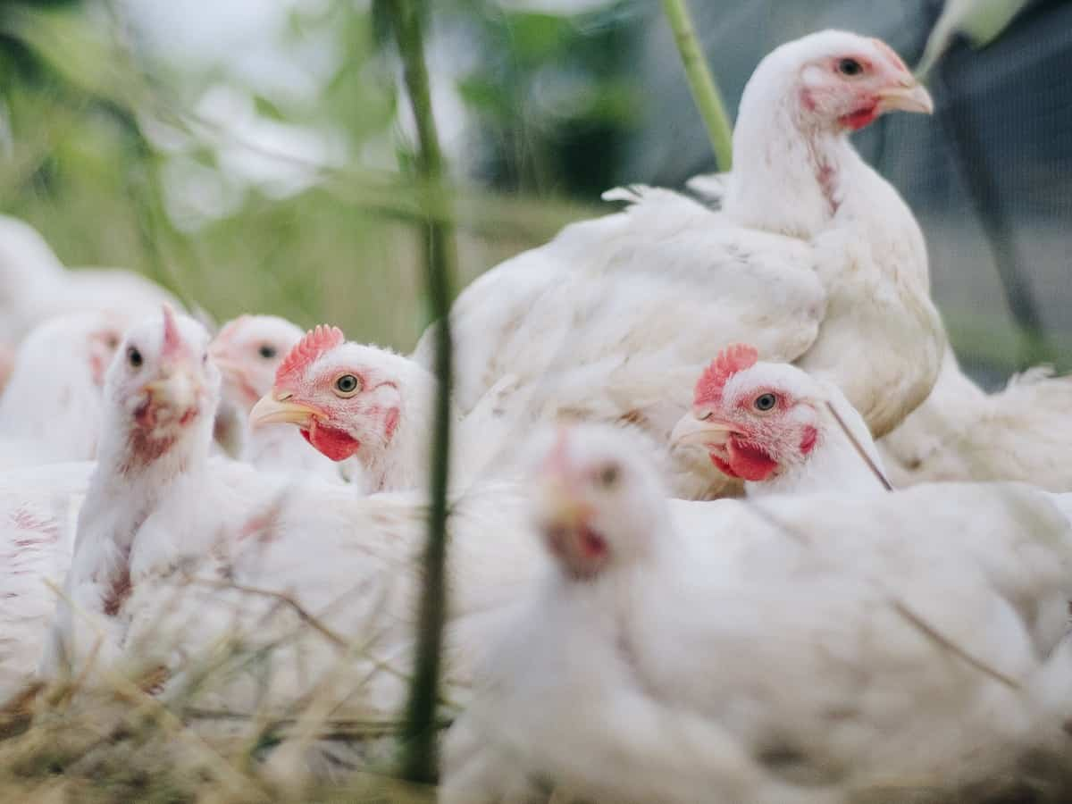 Night curfew triggers fall in chicken prices in Hyderabad
