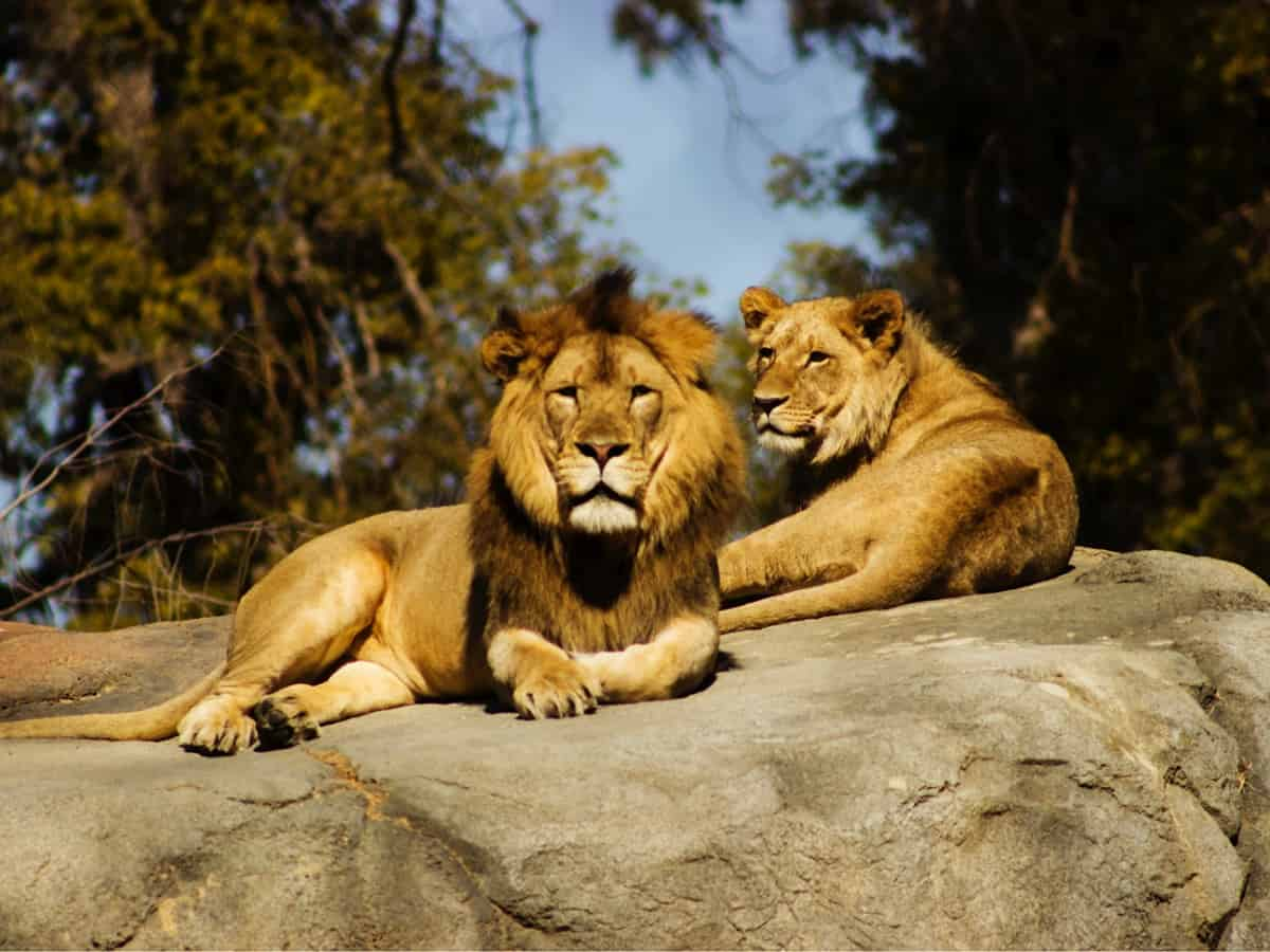 In a first, eight Asiatic lions in Hyderabad zoo test COVID positive