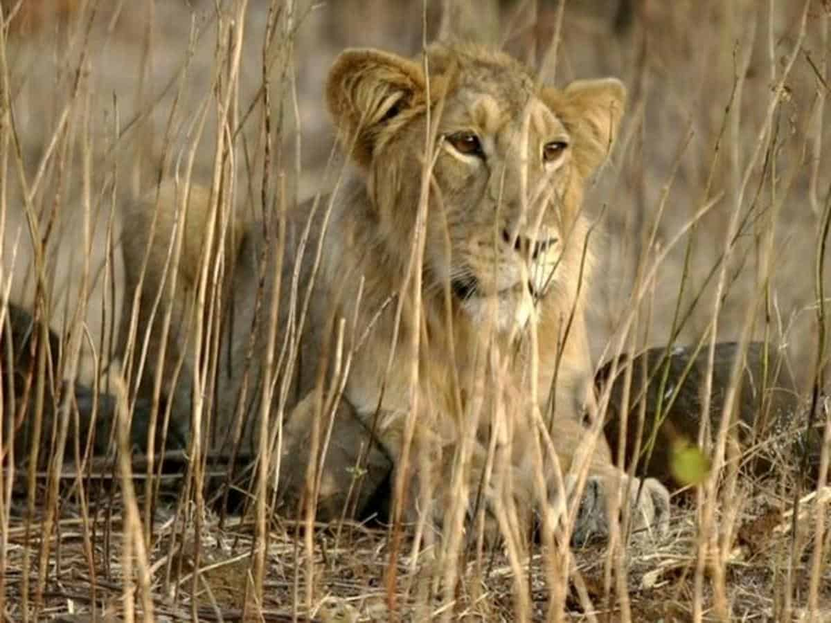 COVID-19: Nasal swabs of Asiatic lions at Hyderabad Zoo collected for test