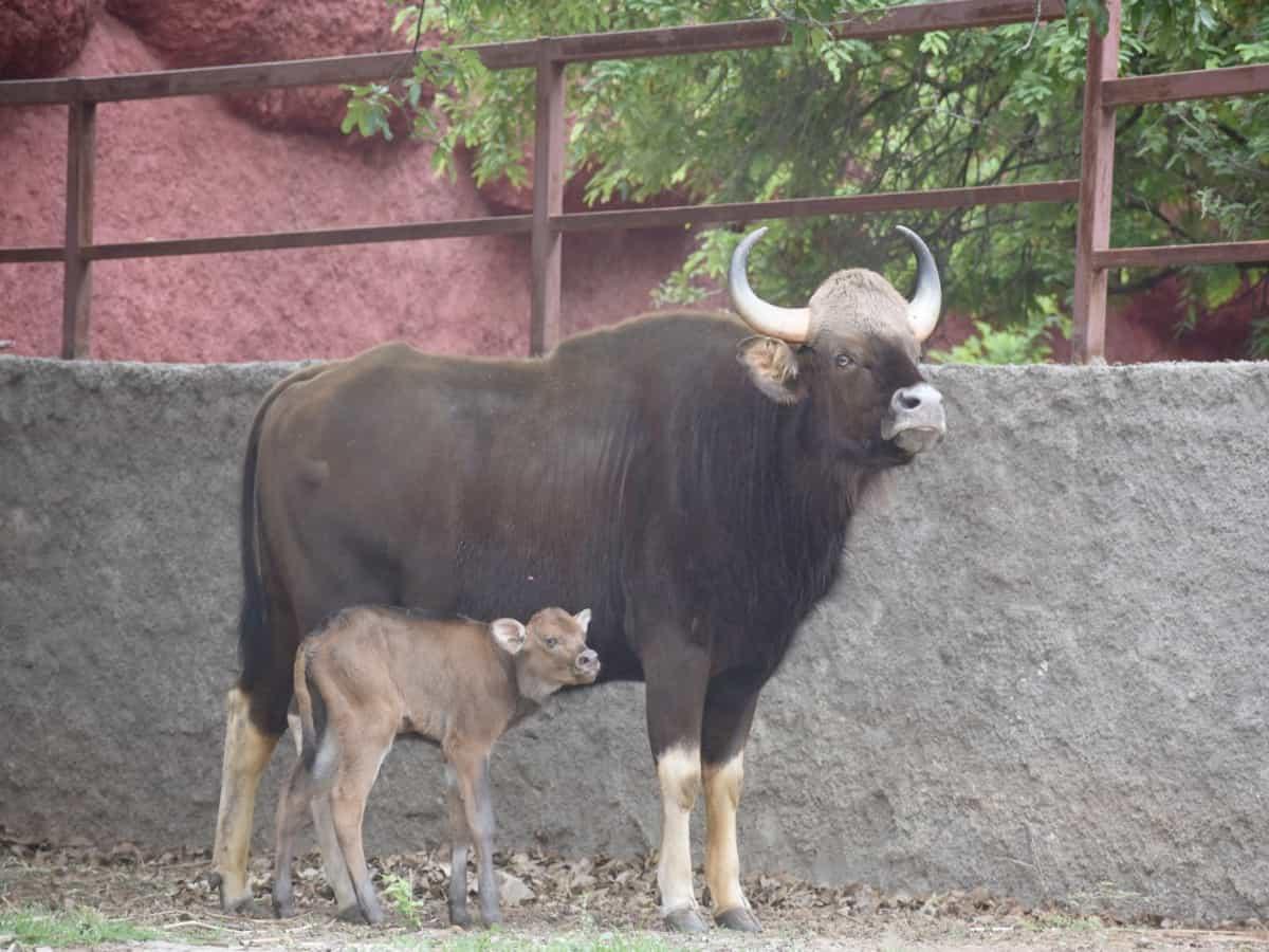 Indian Gaur,horned Rhinoceros gives birth to calfs at Nehru Zoo park