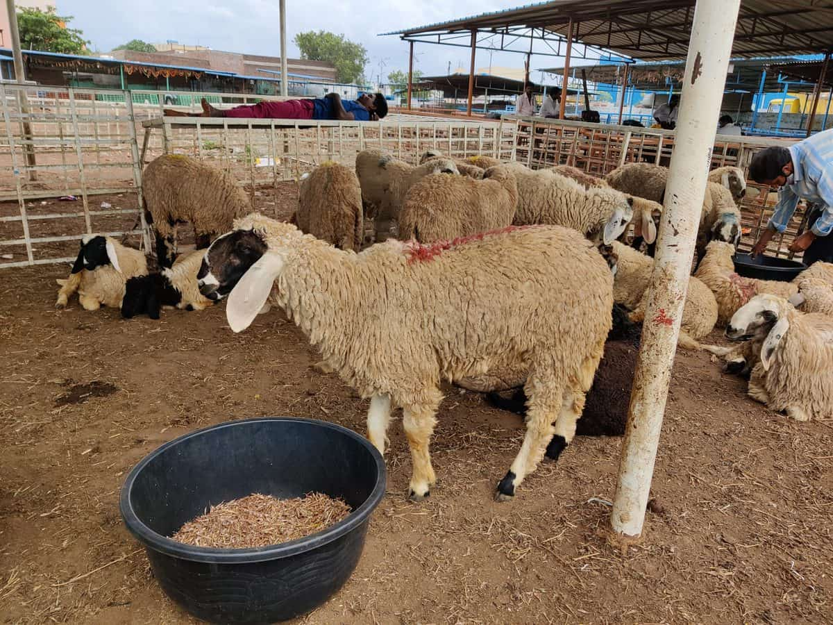 Bakri Eid: Traders in Hyderabad cry foul over low demand for goats