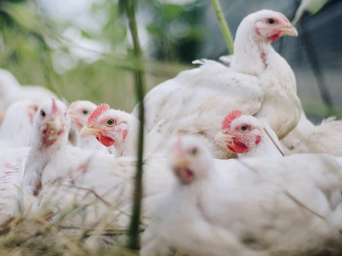 Chicken prices in Hyderabad skyrocket